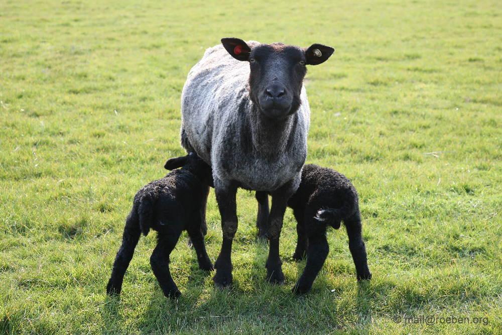 Lamb (Lamm) in black ...