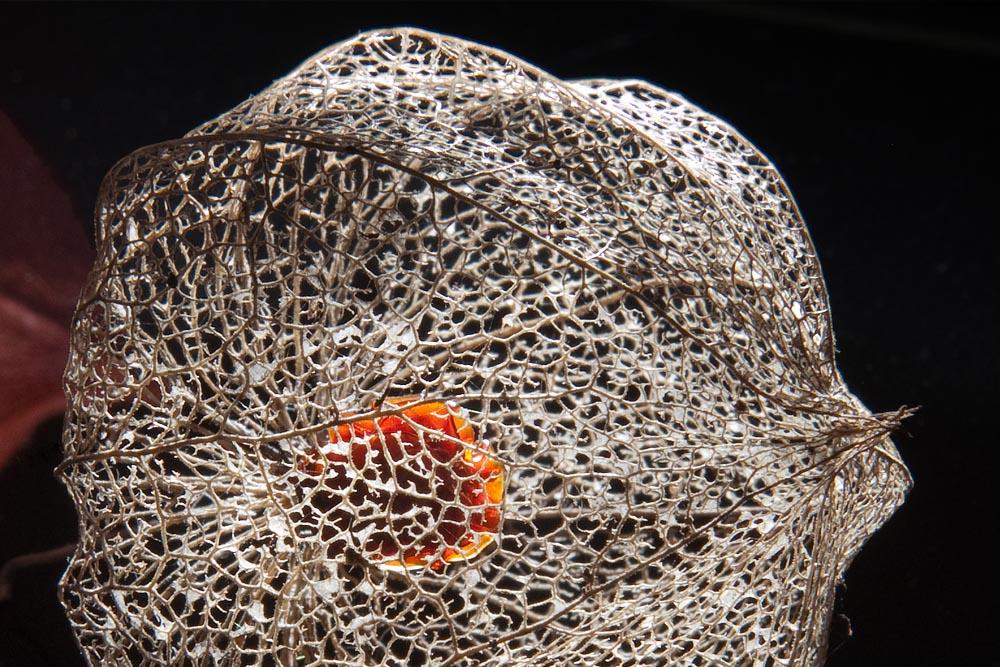 Lampionblume im überreifen Stadium (Physalis alkekengi)