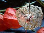 Lampionblume unbekleidet