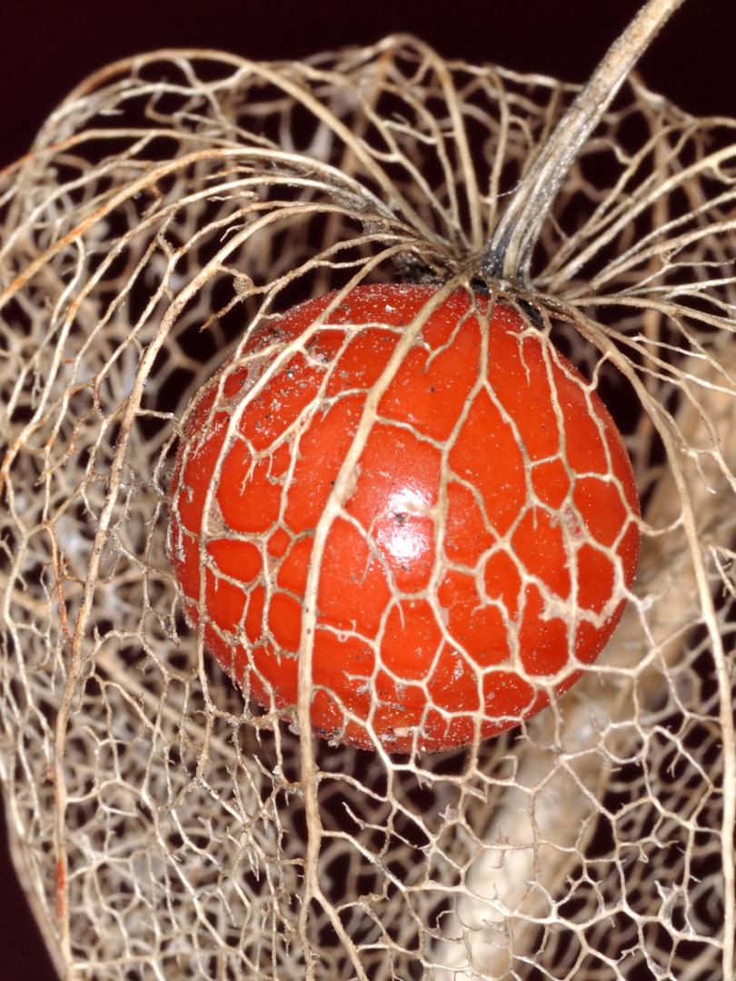 Lampionblumenfrucht 2