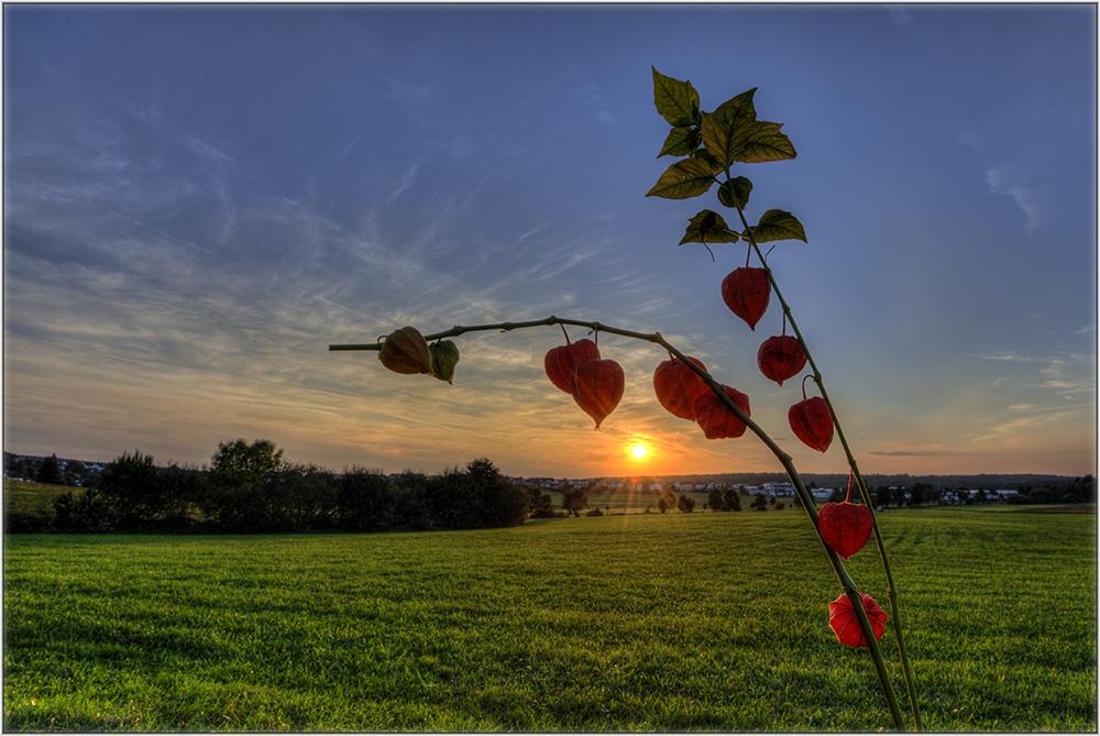 Lampionsblume in der Abendsonne