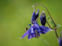 L'Ancolie noir-violet