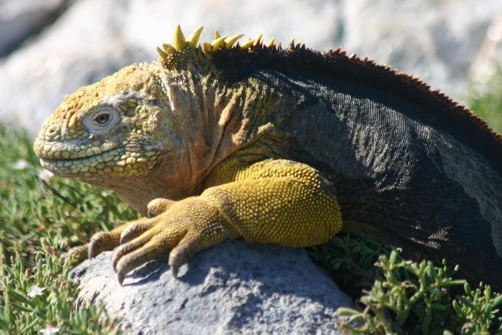 Land Iguana auf der Insel Plaza Sur