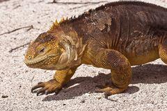 Land Iguana auf Galapagos