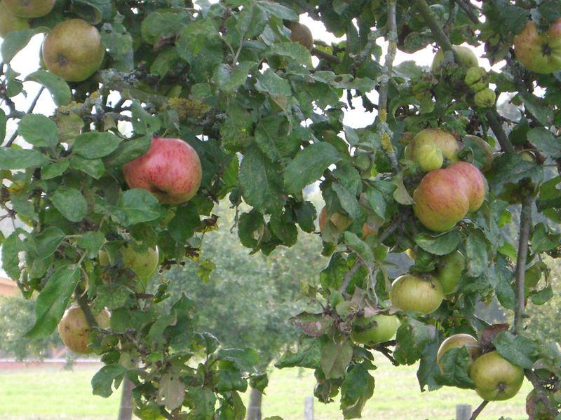 Landäpfel