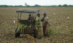 Landarbeiter bei Zuckerrohrernte