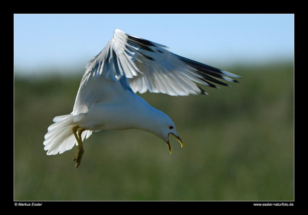 Landende Sturmmöwe • Insel Texel, Nord-Holland, Niederlande (21-21430)