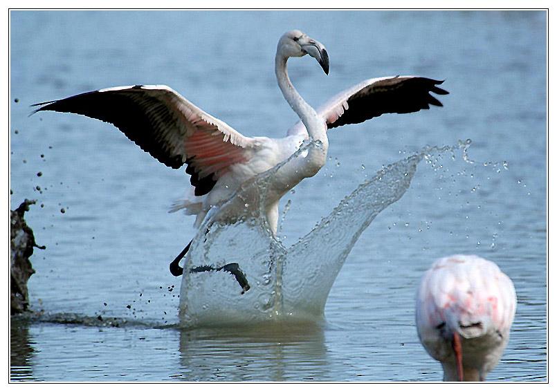 Landender Flamingo