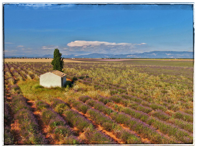 Landhaus mit Baum in einem Lavendelfeld