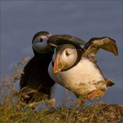 landing puffin