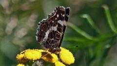Landkärtchenfalter - Araschnia levana 2. Generation...