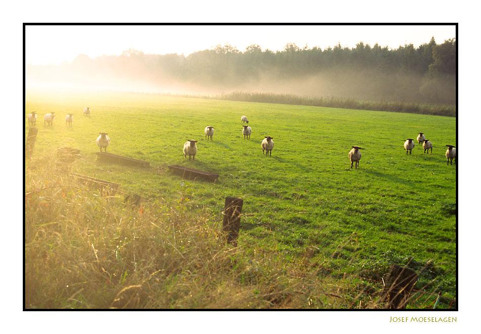 Landleben mitSchafen