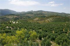 Landschaft der Oliven