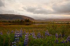 Landschaft mit Lupinen