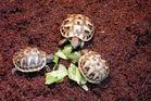 Landschildkröten -THB