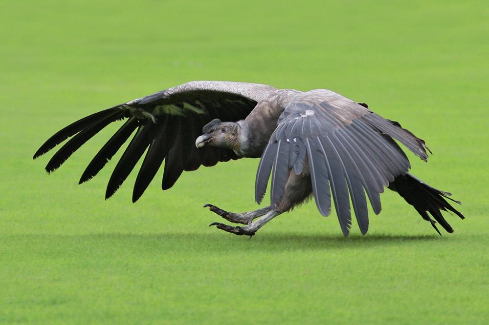 Landung des Anden-Condors
