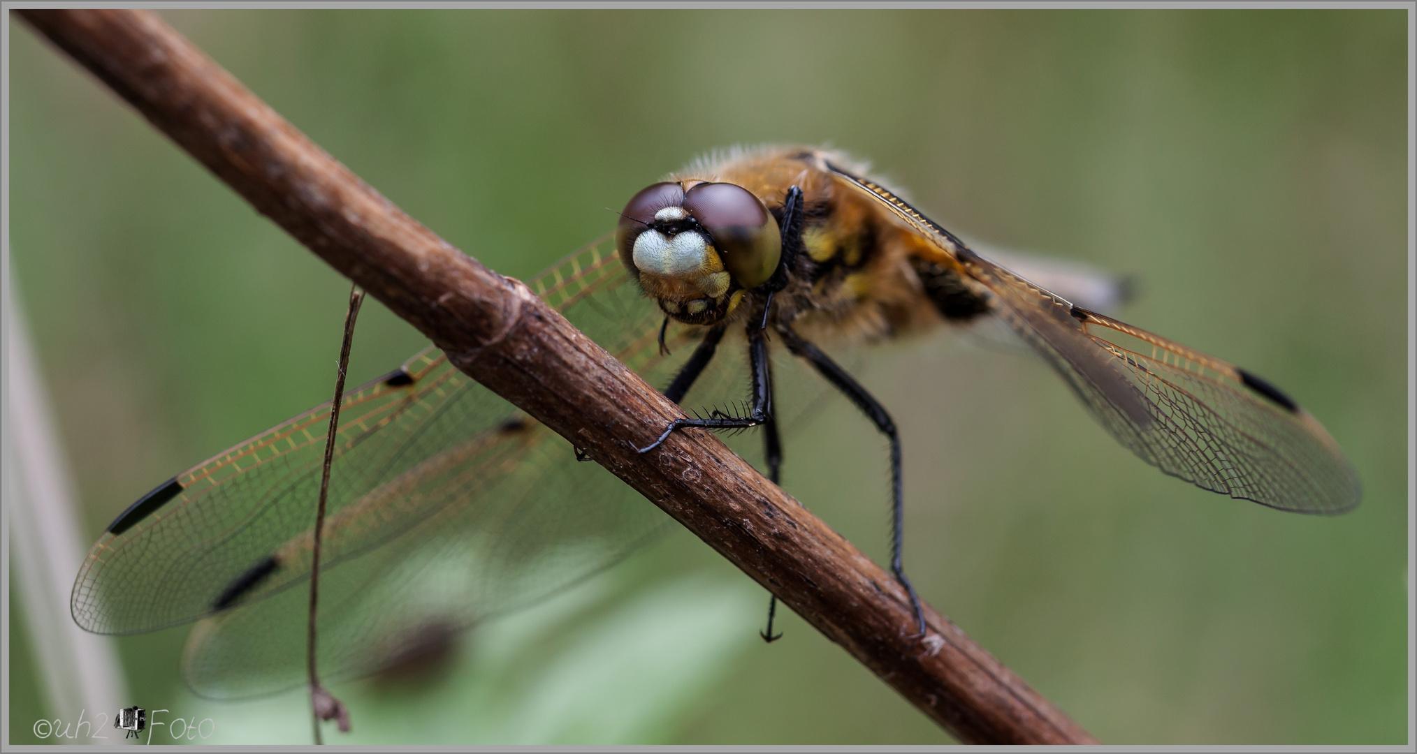 Landung einer Libelle