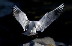 Landung eines Seeadlers
