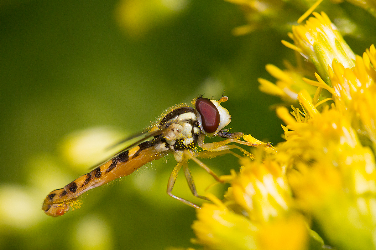 Langbauchschwebfliege, Männchen