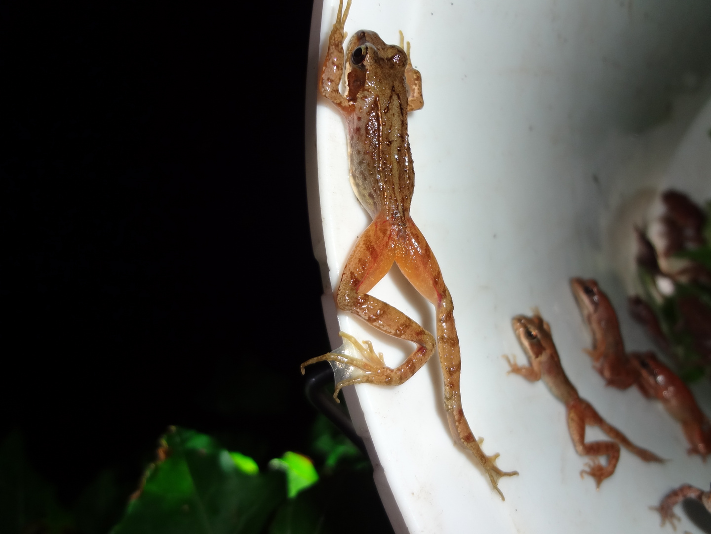 Lange Beine hat der Springfrosch