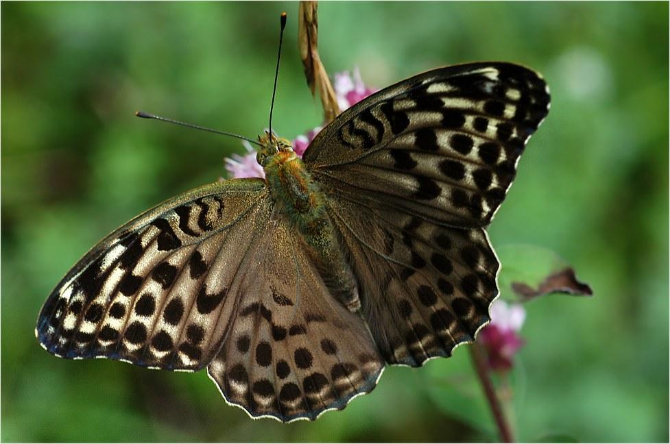 Lange habe ich in meinen Schmetterlingsbüchern gesucht....
