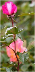 Lange Rose...