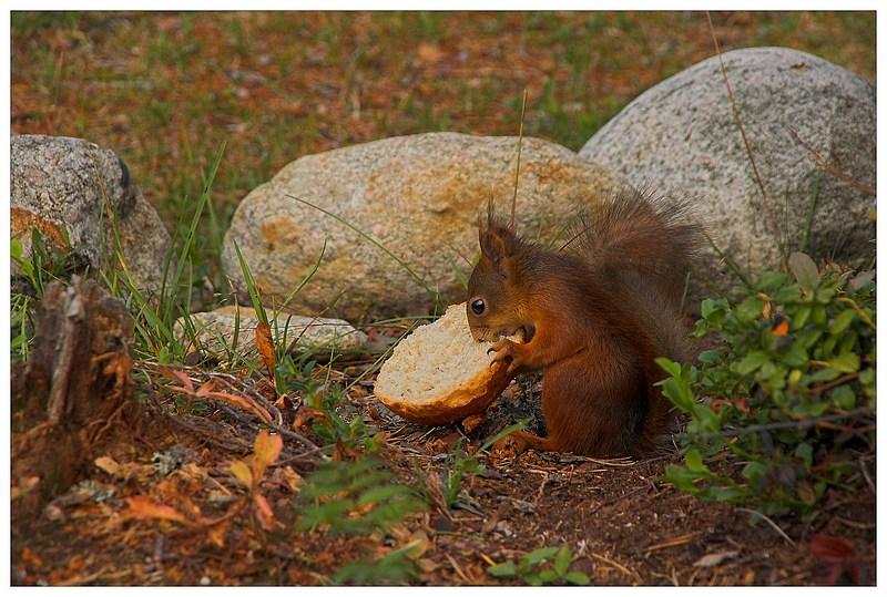 Langfingerhörnchen