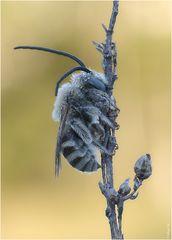~Langhornbiene~