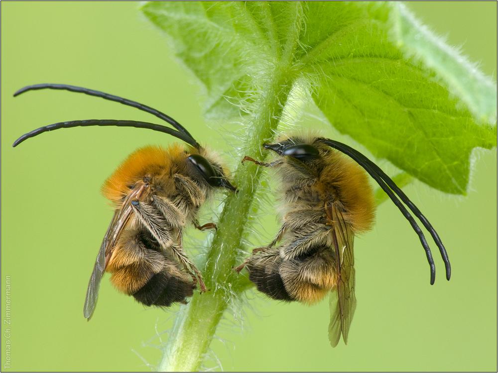 Langhornbienen