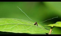 Langhornmotte (Adelidae)