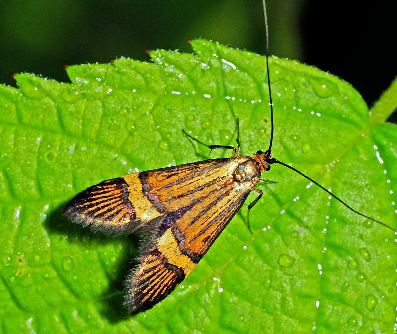 Langhornmotte (Nemophora): [Artkomplex N. degeerella/ N. scopolii/ N. deceptoriella] - Papillon.