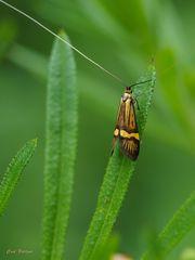 Langhornmotte - Nemophora degeerella