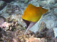 Langmaul-Pinzettfisch