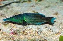 Langnasen-Lippfisch
