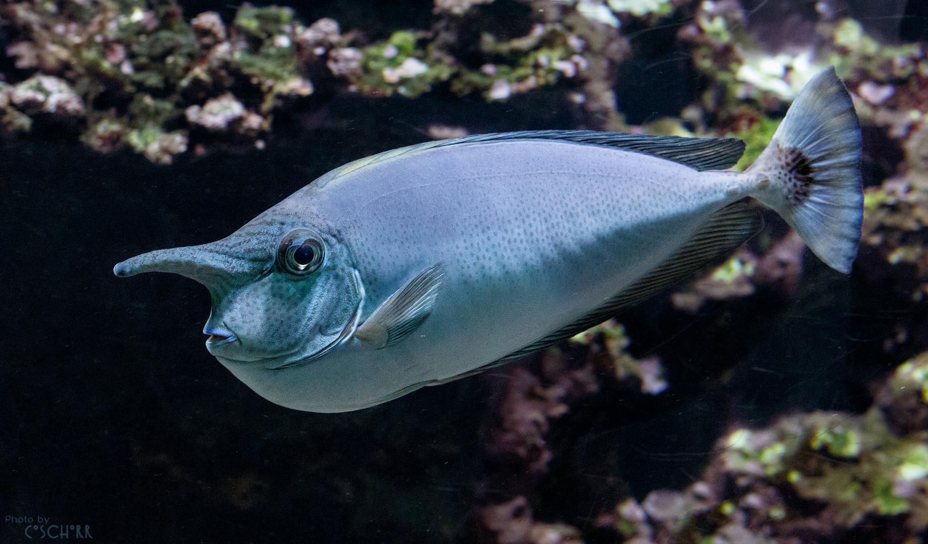 Langnasendoktorfisch