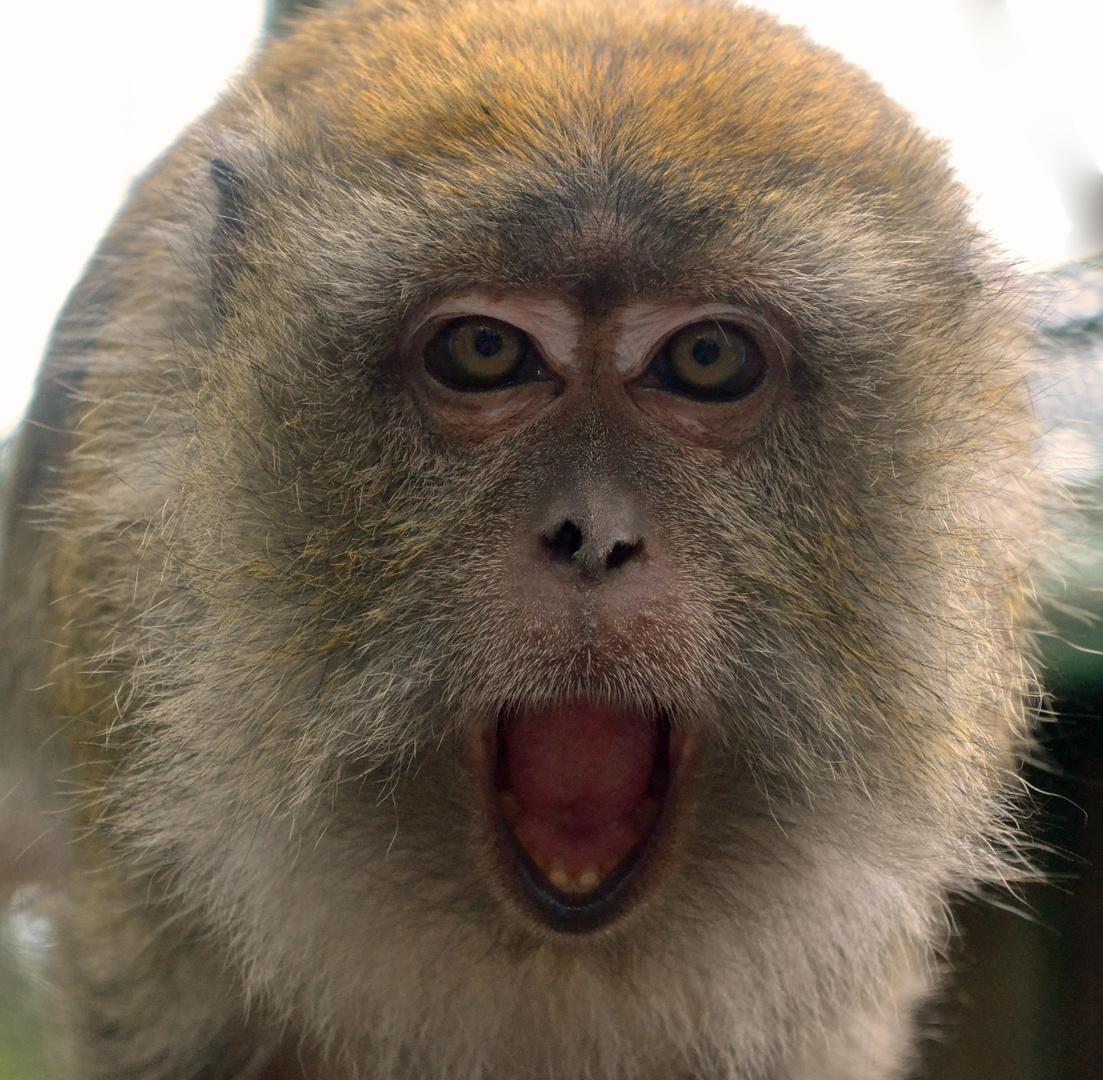 Langschwanz-Makak im Tierpark Göppingen