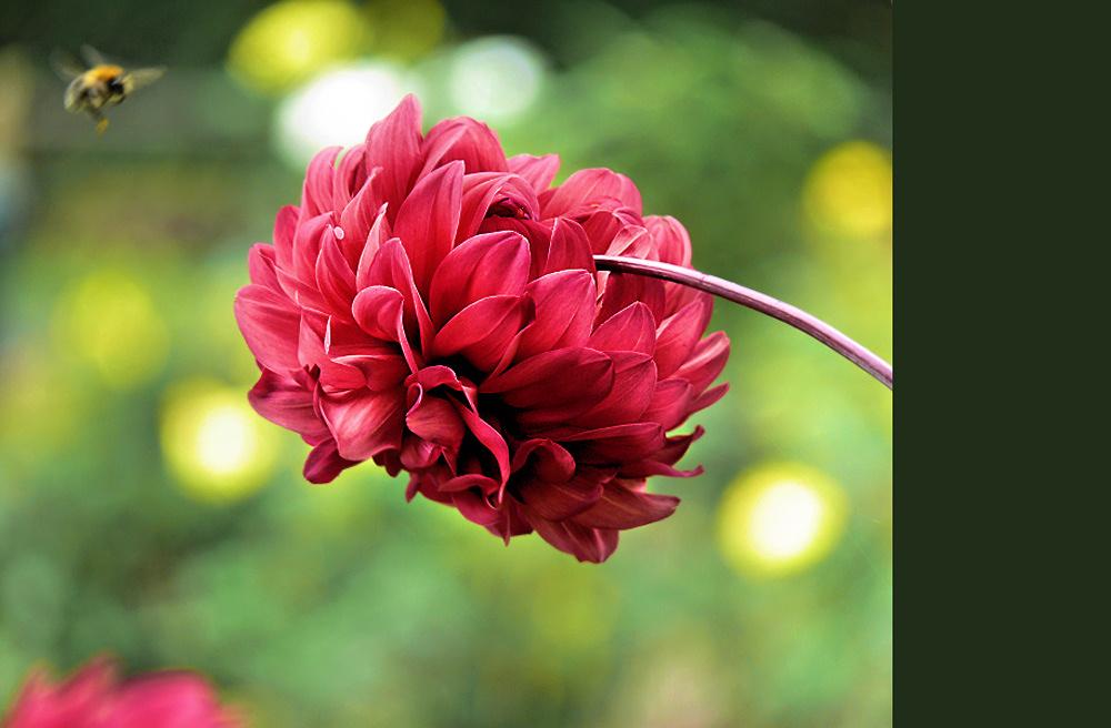 Lantern flower