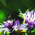 l'ape e il suo nettare