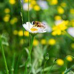 L'ape e la margherita