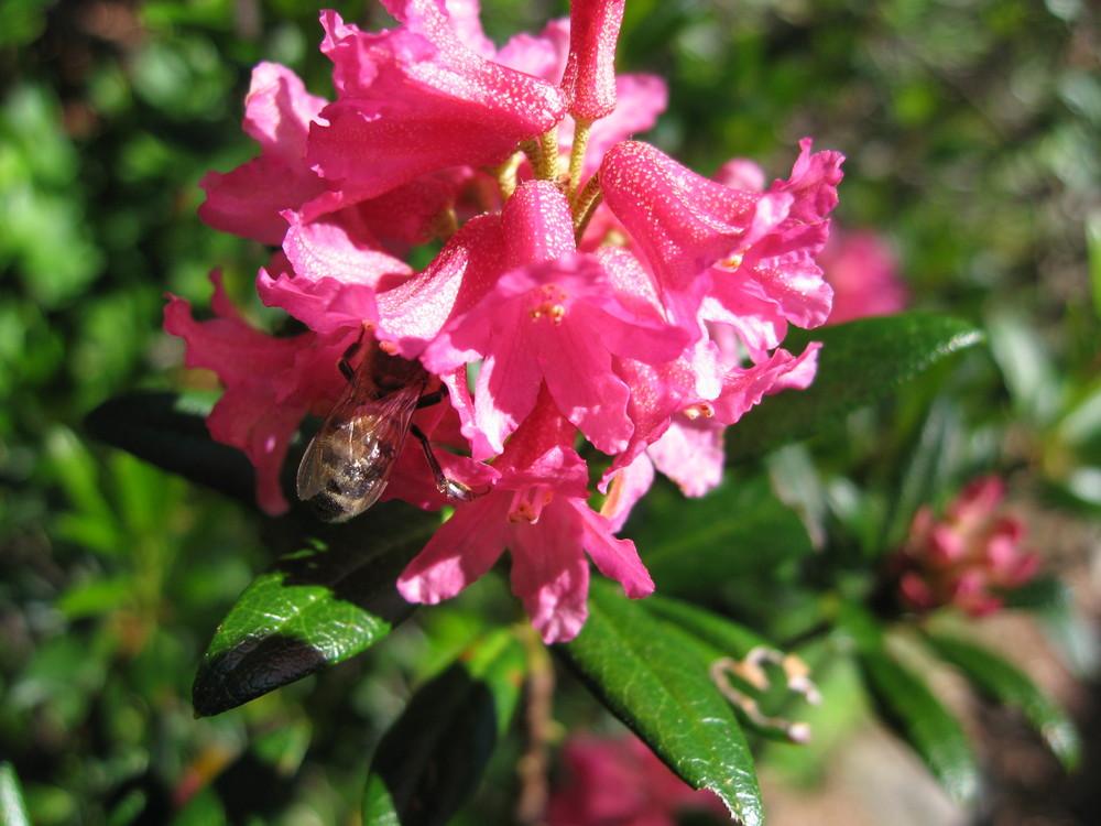 L'ape nel fiore