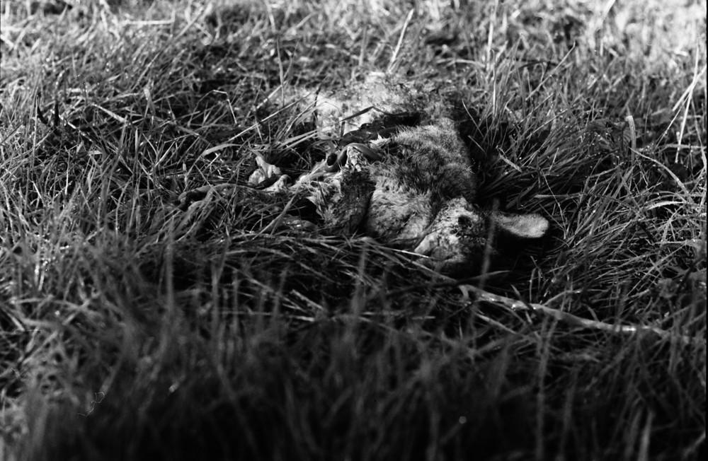 lapin mort