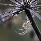l'araignée de verre