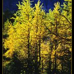 Larch Valley Autumn