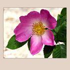 Large flower pink wild rose