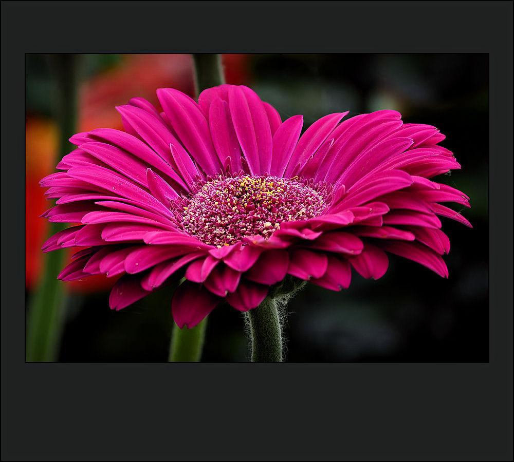 Large purple flower gerbera