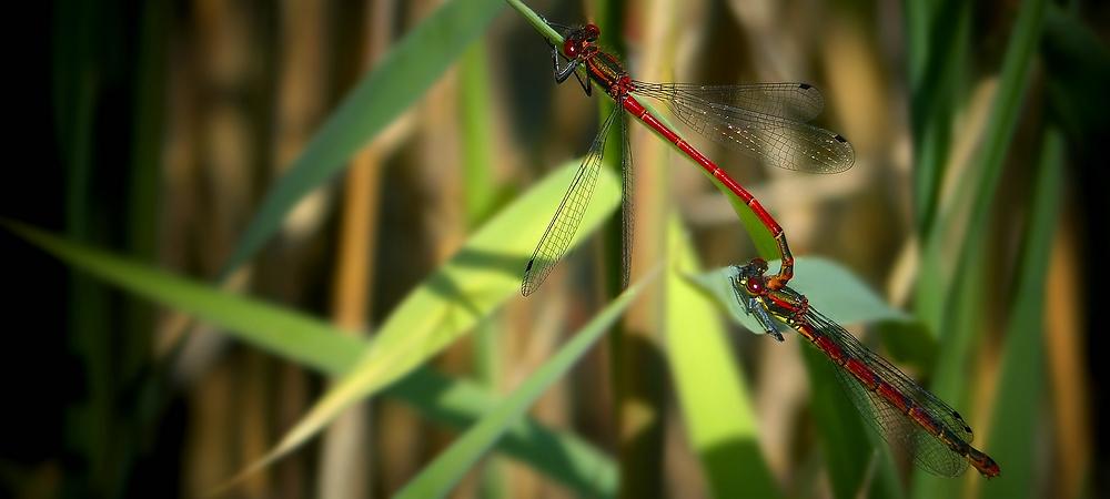 Large Red Damselflies
