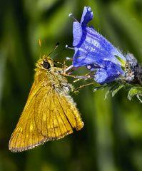 Large Skipper, Ochlodes sylvanus auf einer Blauen Natternkopf-Blüte (Echium vulgare)!