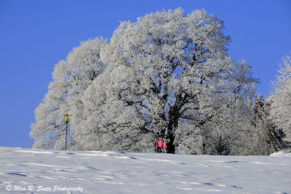 Large white tree & small girls