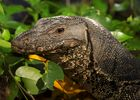 Largest Monitor Lizard Sighted in Sungei Buloh ,Singapore Wetland Reserve