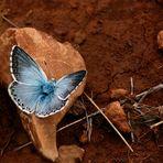 L'argus bleu nacré sur la pierre.
